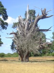 peper harrow tree